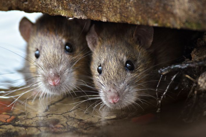 Rats reported at Sandy Creek High being eradicated