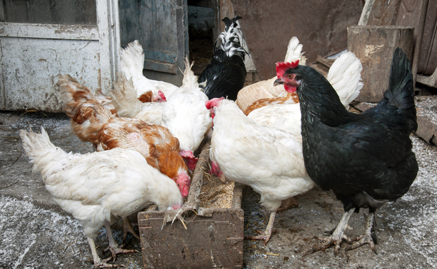 Got some chickens? Watch out for avian flu