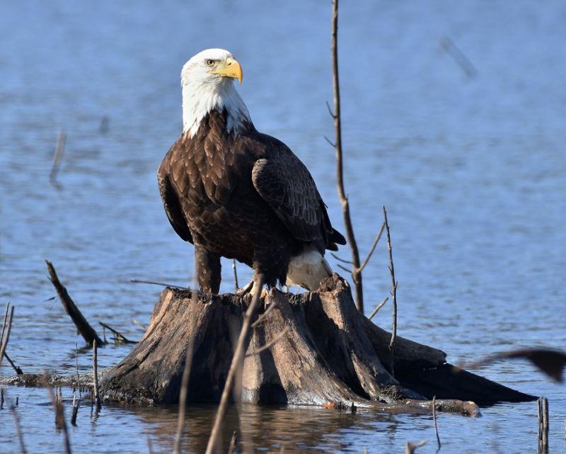 news_01-10-18_Eagle on stump in PTC