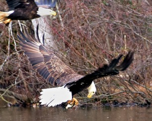 news_01-10-18_Eagle pair flying in PTC